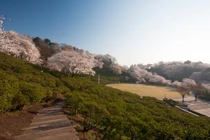 西山公園の桜の写真素材 [FYI01585085]
