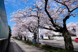 さくら通りの桜並木の写真素材 [FYI01585152]