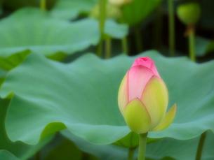 蓮の花のつぼみの写真素材 [FYI01585408]