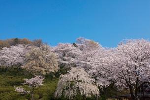 西山公園の桜の写真素材 [FYI01585437]