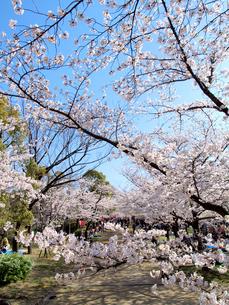 大阪城西の丸庭園の桜の写真素材 [FYI01585478]