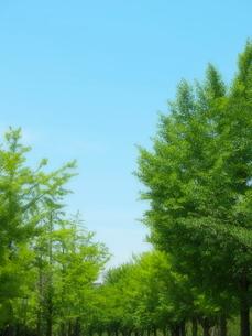 いちょう並木の写真素材 [FYI01585566]