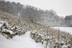 西山公園の雪吊りと冬景色の写真素材 [FYI01585723]