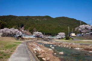 川上川と桜の写真素材 [FYI01585728]