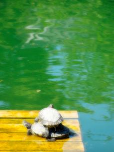 二匹の亀の写真素材 [FYI01585779]