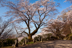 西山公園の桜の写真素材 [FYI01585803]