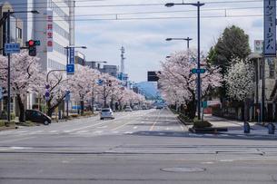 さくら通りの桜並木の写真素材 [FYI01585809]