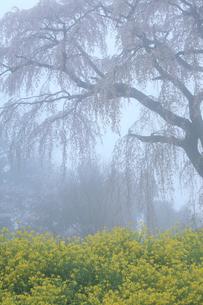 朝霧の中のシダレ桜の写真素材 [FYI01585838]