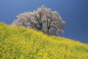 菜の花と一本の桜の写真素材 [FYI01585858]