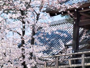 桜の写真素材 [FYI01585982]