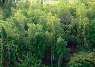 風に揺れる竹林の写真素材 [FYI01586009]