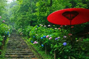 太平山自然公園の雨降るあじさい坂の写真素材 [FYI01586032]