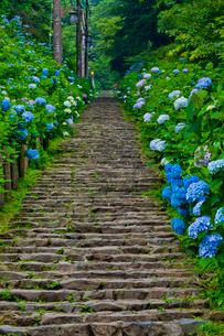 太平山自然公園のあじさい坂の写真素材 [FYI01586069]