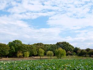 ハス池と青空の写真素材 [FYI01586094]
