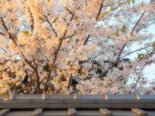 桜と瓦屋根の写真素材 [FYI01586099]