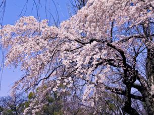 枝垂桜の写真素材 [FYI01586126]