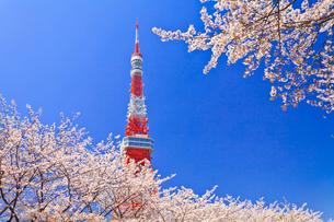 東京タワーと桜の写真素材 [FYI01586154]