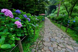 太平山自然公園のあじさい坂の写真素材 [FYI01586156]