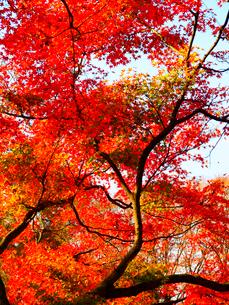 紅葉の写真素材 [FYI01586311]