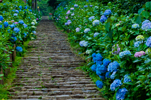 太平山自然公園のあじさい坂の写真素材 [FYI01586347]