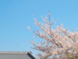 桜と瓦屋根の写真素材 [FYI01586349]