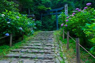 太平山自然公園のあじさい坂の写真素材 [FYI01586365]
