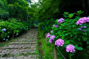 太平山自然公園のあじさい坂の写真素材 [FYI01586420]