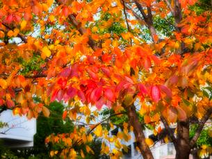 赤く色づいた桜の写真素材 [FYI01586496]