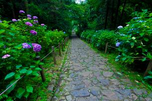 太平山自然公園のあじさい坂の写真素材 [FYI01586558]