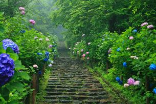 太平山自然公園の雨降るあじさい坂の写真素材 [FYI01586581]
