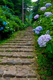 太平山自然公園のあじさい坂の写真素材 [FYI01586609]