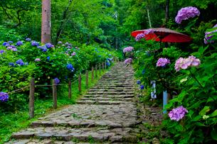 太平山自然公園のあじさい坂の写真素材 [FYI01586613]