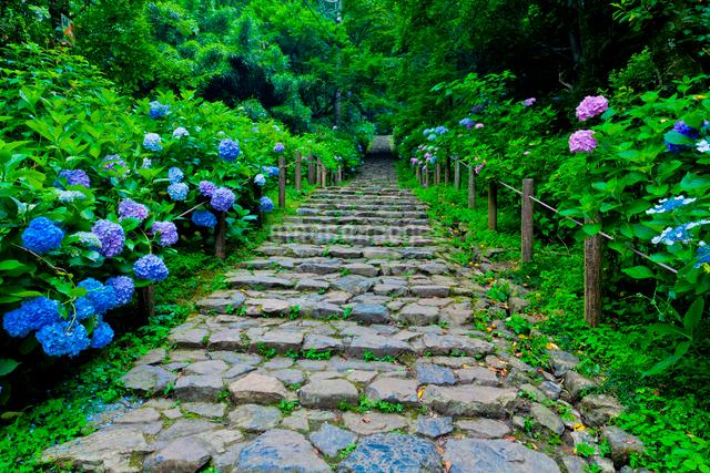 太平山自然公園のあじさい坂の写真素材 [FYI01586652]
