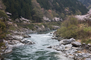 飛騨川と桜の写真素材 [FYI01586678]