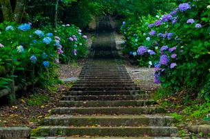太平山自然公園のアジサイ咲く道の写真素材 [FYI01586805]