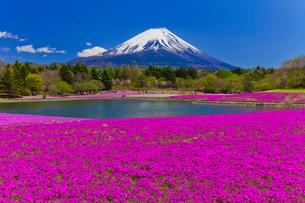 富士山と芝桜の写真素材 [FYI01586820]