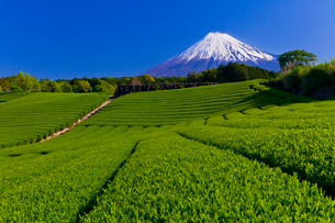 富士山と茶畑の写真素材 [FYI01586872]