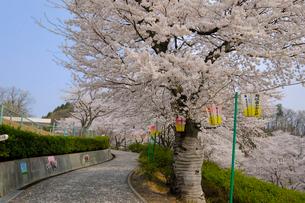 西山公園の桜の写真素材 [FYI01586890]