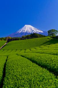 富士山と茶畑の写真素材 [FYI01586907]