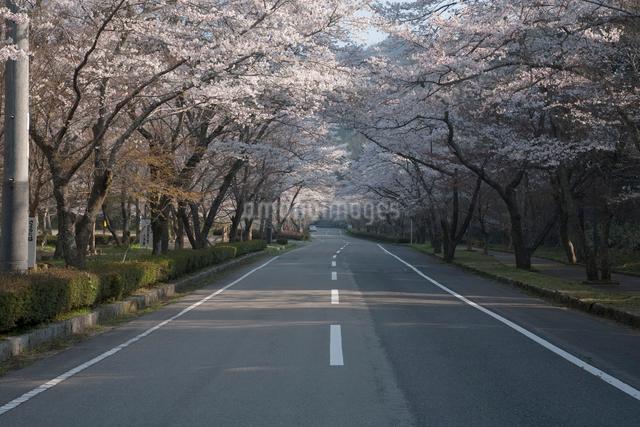 寺尾ヶ原の千本桜と道の写真素材 [FYI01587011]