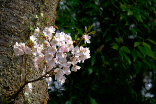 桜の小枝の写真素材 [FYI01587047]