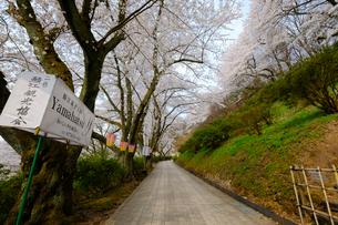 西山公園の桜の写真素材 [FYI01587136]