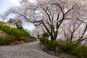 西山公園の桜の写真素材 [FYI01587170]