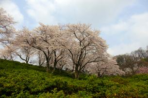 西山公園の桜の写真素材 [FYI01587190]