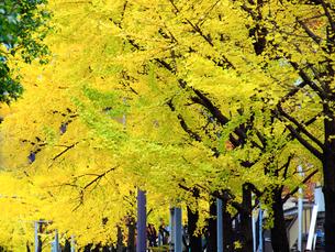 銀杏並木の写真素材 [FYI01587214]