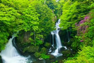 トウゴクミツバツツジ咲く竜頭の滝の写真素材 [FYI01587500]