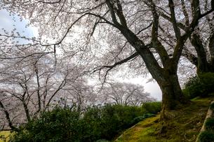 西山公園の桜の写真素材 [FYI01587756]