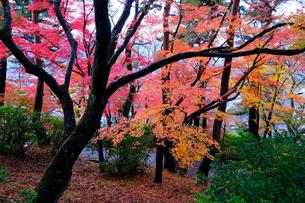 紅葉の木々の写真素材 [FYI01587842]