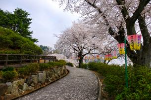 西山公園の桜の写真素材 [FYI01588239]