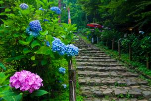 太平山自然公園のあじさい坂の写真素材 [FYI01588308]